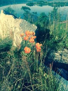 Humla suser fra blomst til blomst ved Ustevatnet